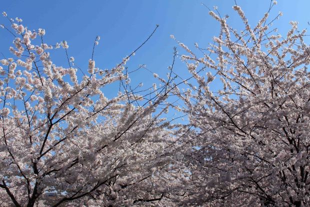 Soaking up the unbelievable cherry blossoms in DC. It's really worth the hype!!