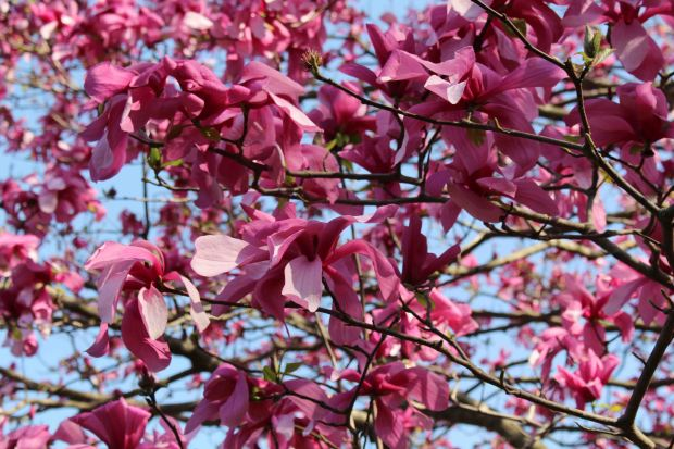 Cherryblossoms8