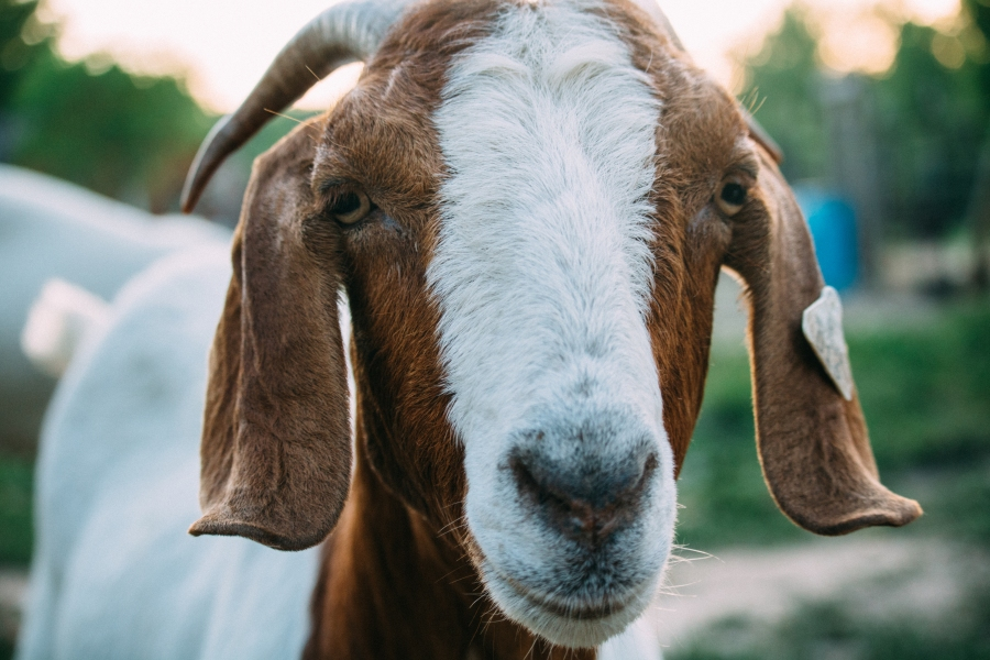 Are you a goat or a canary? Whole30 | Teaspoon of Nose